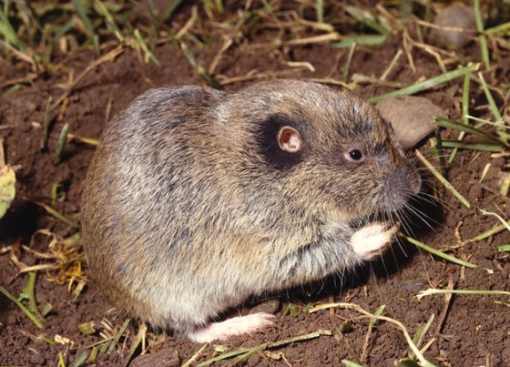 north-america-pocket-gopher-625x450