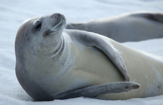 crabeater-seal-by-liam-quinn